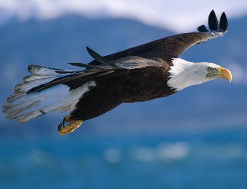 45 Koleksi Gambar Burung Elang Sedang Terbang HD Terbaik